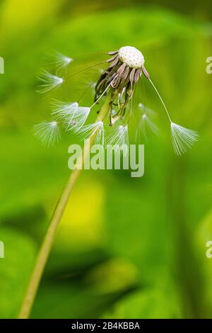 Closeup of a withered dandelion blossom, blowball - Stock Photo