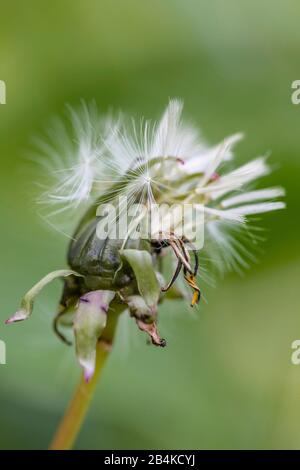 Closeup of a withered dandelion blossom, blowball. - Stock Photo