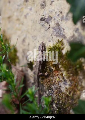 Lizard on a stone, close-up - Stock Photo