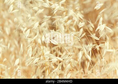 Common wild oat [Avena fatua] - Stock Photo