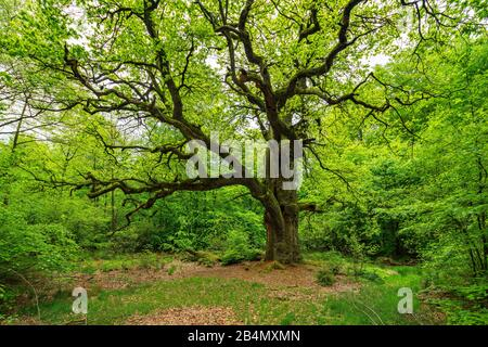 Huge gnarled old oak (Quercus robur) on clearing in green forest in spring, branches covered by moss, fresh greenery, former hat tree, Reinhardswald, Hesse, Germany - Stock Photo