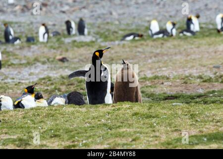 King Penguin (Aptenodytes patagonicus) mother/father and chick, Cooper Bay, South Georgia - Stock Photo