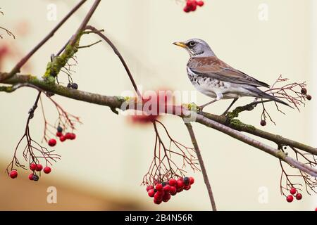 Juniper thrush, Turdus pilaris, Schwerin, Mecklenburg-West Pomerania, Germany