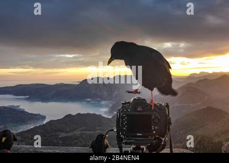 Sankt Gilgen, view from mountain Schafberg to lake Attersee (with fog clouds above the water), bird Alpine chough (Pyrrhocorax graculus) on top of camera in Salzkammergut area, Salzburg, Austria Stock Photo