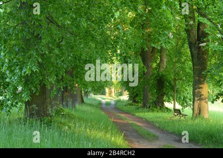 Baumallee, Kloster Lehnin, Brandenburg, Deutschland - Stock Photo