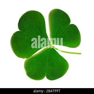 Spring clover leaf isolated on white background. Green three-leaved shamrock - symbol of Saint Patricks Day. Close-up view. - Stock Photo