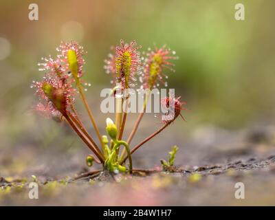 Spoonleaf sundew (Drosera intermedia) is an insectivorous plant species belonging to the sundew genus. With insects caught in leaves. - Stock Photo