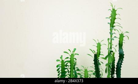 Big cactus in a pot. Prickly plant in the sunlight near the wall - Stock Photo