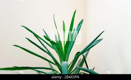 A large green plant in a pot in the sun near a beige wall - Stock Photo