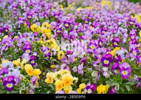 field of purple and yellow pansies, a festive decoration of the city with spring flowers planted in the park - Stock Photo