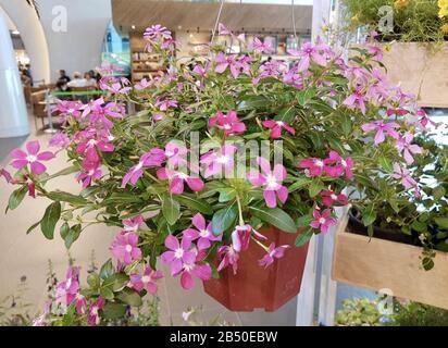 Symbol of Love, Beautiful Pink Catharanthus Roseus, Madagascar Periwinkle, Rose Periwinkle or Teresita Flowers in A Pot. - Stock Photo