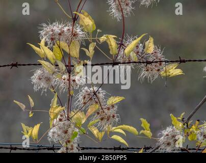 Traveller's-joy,  Clematis vitalba in fruit in autumn, growing up barbed wire fence. - Stock Photo