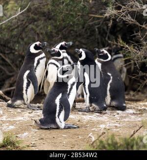 Magellanic penguins, Parque Nacional Monte Leon, Patagonia Argentina