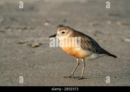 New Zealand dotterel or New Zealand plover, Charadrius obscurus, adult in breeding plumage walking on beach, New Zealand - Stock Photo