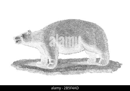 Polar Bear from General zoology, or, Systematic natural history Part I, by Shaw, George, 1751-1813; Stephens, James Francis, 1792-1853; Heath, Charles - Stock Photo