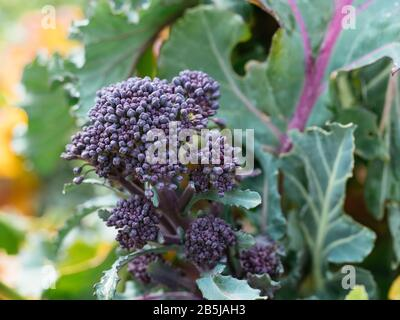 Early Purple Sprouting Broccoli growing in a vegetable garden in March. - Stock Photo