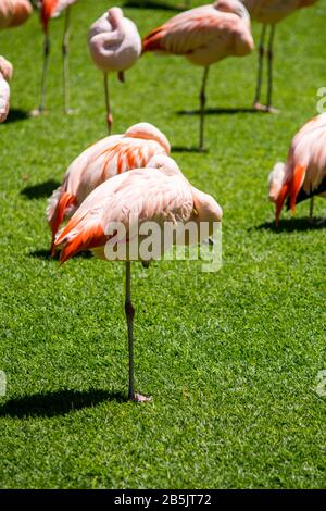 resting flamingo in foreground and other flamingo birds around - Stock Photo
