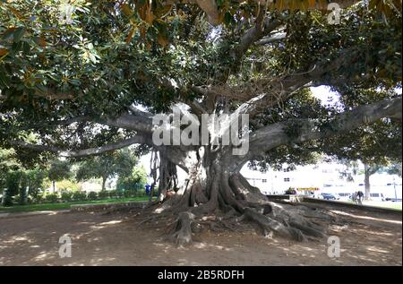 Beverly Hills, California, USA 7th March 2020 A general view of a tree in March 7, 2020 in Beverly Hills, California, USA. Photo by Barry King/Alamy Stock Photo - Stock Photo