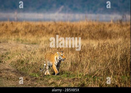 Wild tiger on prowl Tigress walking in beautiful landscape of grassland area background of dhikala zone safari at jim corbett national park india