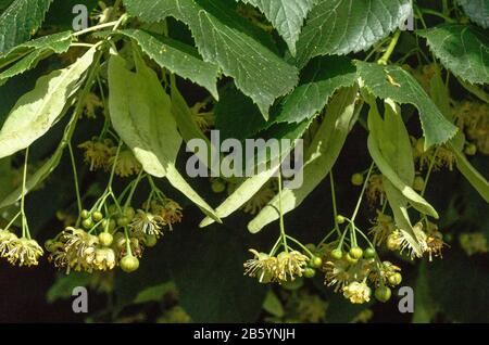 Flowers in South-west France.Large-leaved Lime Tree (Tilia platyphyllos) in flower and with developing fruits on their bracts. - Stock Photo