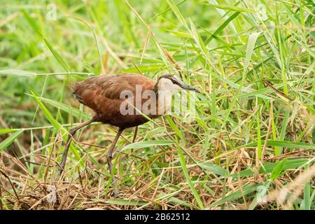 African jacana, Actophilornis africanus, walking in vegetation, Gambia - Stock Photo