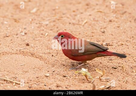 red-billed firefinch, Lagonosticta senegala, adult male standing on ground, Gambia - Stock Photo