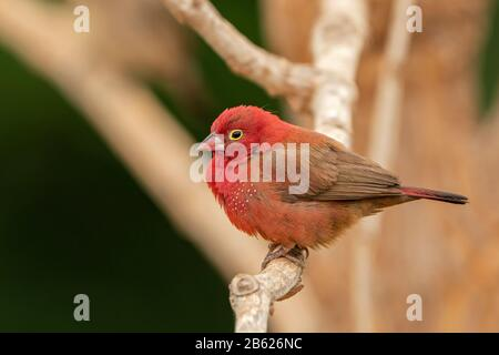 red-billed firefinch, Lagonosticta senegala, adult male perched on tree branch, Gambia - Stock Photo