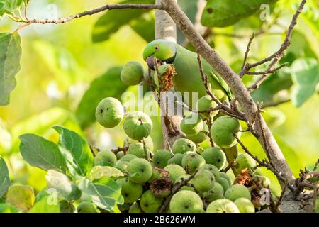 ring-necked parakeet or rose-ringed parakeet, Psittacula krameri, adult feeding on figs, Gambia - Stock Photo
