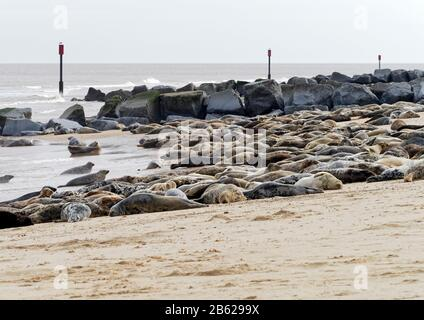 Atlantic Grey Seals (Halichoerus grypus antlanticus) hailed out for moulting on Horsey beach, Norfolk, now a breeding colony for these animals. - Stock Photo