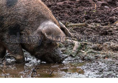 Wild boars wallow in the mud - Stock Photo