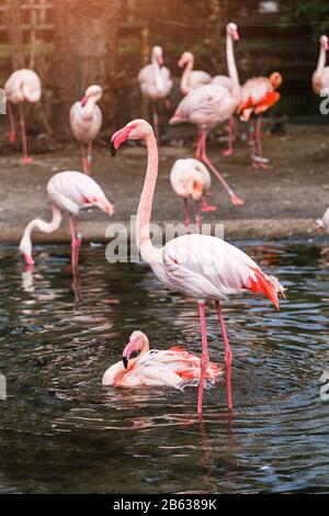Pink flamingo in water, vertical photo - Stock Photo