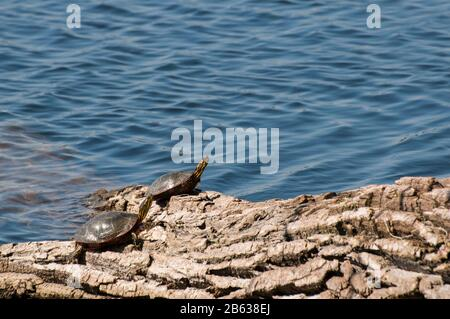Vadnais Heights, Minnesota. Vadnais Lake Regional Park. A pair of Western Painted Turtles, Chrysemys picta bellii, sunning on a log in the park. - Stock Photo