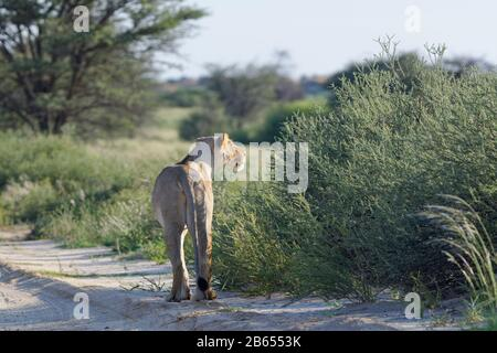 Lioness (Panthera leo), adult female, on a sand road, looking far ahead, Kgalagadi Transfrontier Park, Northern Cape, South Africa, Africa - Stock Photo