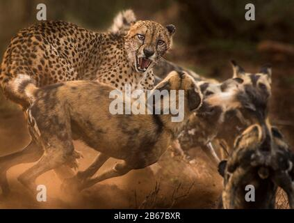 This Encounter between a Cheetah (Acinonyx jubatus) and a Pack of African Wild Dogs (Lycaon pictus) was photographed in Zimange Private Game Reserve. - Stock Photo