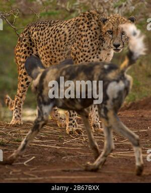 This Encounter between a Cheetah (Acinonyx jubatus) and an African Wild Dog (Lycaon pictus) was photographed in Zimange Private Game Reserve. - Stock Photo