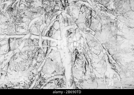 Black and white abstract (inverted) image of lush temperate rainforest, ferns, and moss-covered trees, along the North Fork Snoqualmie River, Mount Ba Stock Photo