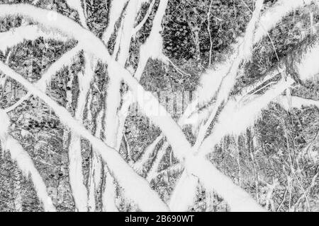 Black and white abstract (inverted) image of lush temperate rainforest, ferns, and moss-covered trees Stock Photo