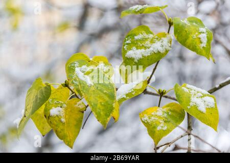The first snow on the yellow leaves close-up. Soft focus, shallow depth of field - Stock Photo