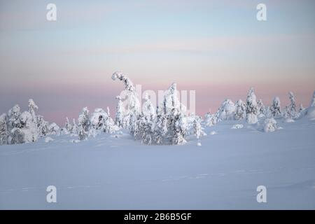 Snow covered trees in Lapland, Finland create a wonderful and beautiful winter wonderland landscape during sunset. They're called popcorn trees.