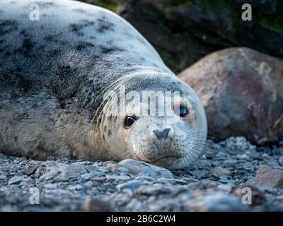 Seals at Ravenscar, North Yorkshire, UK. - Stock Photo