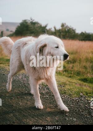 A sheepdog on a farm in Australia