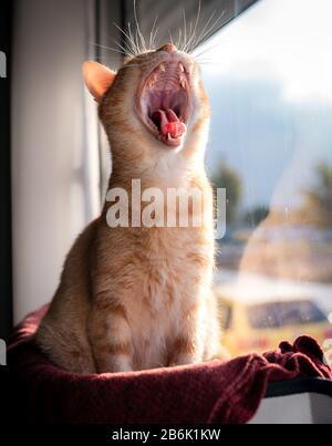 vertical photo. portrait of tabby cat sitting in hammock stuck on window yawning