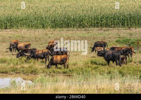 Heck cattle (Bos primigenius f. taurus), grazing cattles, Germany, Baden-Wuerttemberg - Stock Photo