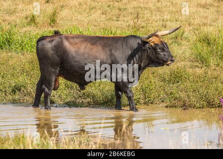 Heck cattle (Bos primigenius f. taurus), bull standing in shallow water surrounded by a swarm of flies, side view, Germany, Baden-Wuerttemberg - Stock Photo