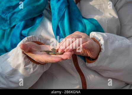 The hands of an elderly woman count small Russian coins. - Stock Photo