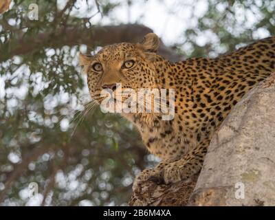 Close-up of a Leopard (Panthera pardus) on a tree, Linyanti Concession, Ngamiland, Botswana - Stock Photo