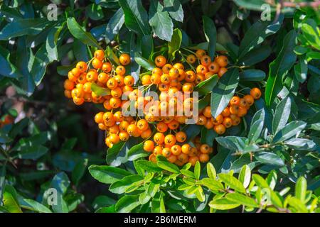 A lot of branches of ripe yellow rowanberries in the sunbeam in autumn. Bunches of fresh berries. - Stock Photo