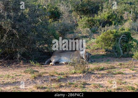 Lions, (Panthera leo) male and female actually brother and sister, resting in the bush of the Addo Elephant National Park, Eastern Cape - Stock Photo