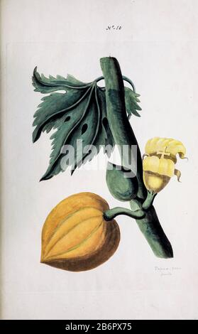 Female Pawpaw Tree (Carica papaya) Collection of Exotics from the Island of Antigua. By a Lady from the second edition of Naauwkeurige Waarneemingen omtrent de veranderingen van veele Insekten (Accurate Descriptions of the Metamorphoses of Insects), J. Sluyter, Amsterdam, 1774. For the second edition, M. Houttuyn added another eight plates to the original 25. - Stock Photo