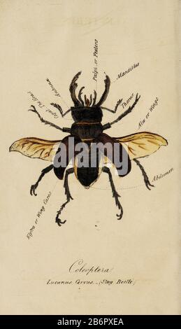 Hand painted print of insects from 'Lectures on Entomology' by John Barlow Burton Published in London in 1837 by Simpkin and Marshall - Stock Photo